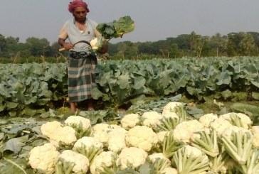 তালায় শীতকালিন সবজির ন্যায্য দাম পাচ্ছে না কৃষক